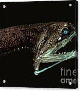 Barbeled Dragonfish Acrylic Print