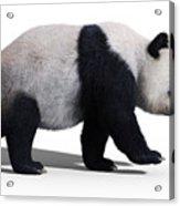 Bear Panda Walking Acrylic Print