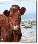 Beautiful Brown Cow On The Burren In Ireland Acrylic Print