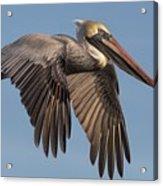 Beautiful Brown Pelican Acrylic Print