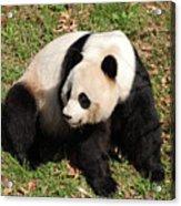 Beautiful Giant Panda Bear In The Wild Acrylic Print