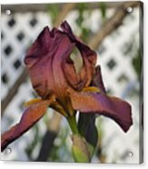 Beautiful Iris Acrylic Print
