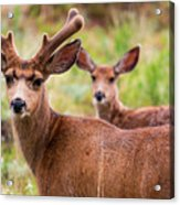 Beautiful Mule Deer Herd Acrylic Print