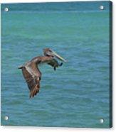 Beautiful Pelican In Flight Over The Water In Aruba Acrylic Print