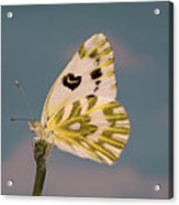 Becker's White Butterfly Acrylic Print