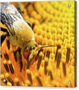 Bee And Sunflower Acrylic Print