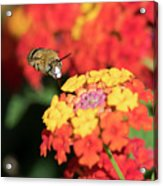 Bee, Bumblebee, Flying To A Flower, In Marseille, France Acrylic Print