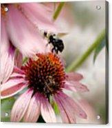 Bee Leaving Flower Acrylic Print