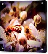 Bee On Apple Blossoms Acrylic Print