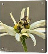 Bee On Coneflower 2 Acrylic Print