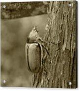 Beetle On A Log Acrylic Print