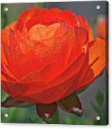 Begonia In The Morning Acrylic Print