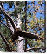 Berry College Eagle Mom Acrylic Print