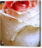 Bicolor Rose Acrylic Print