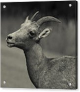 Big Horn Sheep Acrylic Print by Barbara Schultheis