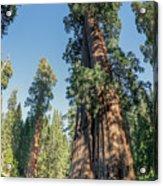 Big Tree Trail - Sequoia National Park - California Acrylic Print