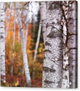 Birch Trees Fall Scenery Acrylic Print