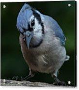 Birds From Heaven - Bluejay Acrylic Print