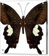 Black And Brown Butterfly Species Papilio Nephelus Acrylic Print