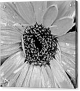 Black And White Gerbera Daisy Acrylic Print