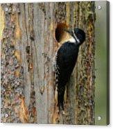 Black-backed Woodpecker Acrylic Print