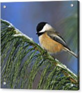 Black-capped Chickadee Acrylic Print by Tony Beck