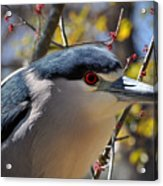 Black-crowned Night Heron  Acrylic Print