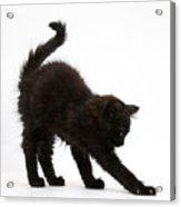 Black Kitten Stretching Acrylic Print