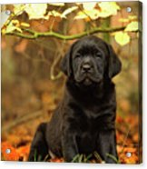 Black Labrador Retriever Puppy Acrylic Print