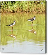 Black Necked Stilt, In The Pond In The Galapagos Acrylic Print