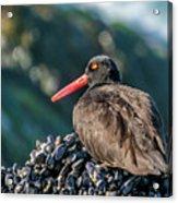 Black Oystercatcher Acrylic Print