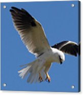 Black-shouldered Kite  Acrylic Print