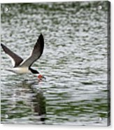 Black Skimmer Fishing Acrylic Print