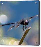 Black Spotted Dragonfly Acrylic Print