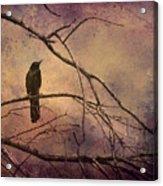 Blackbird 2 Acrylic Print