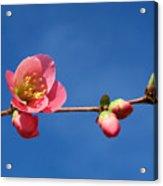Bloomers Acrylic Print