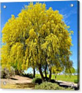 Blooming Palo Verde Acrylic Print