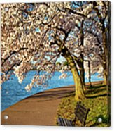 Blossoming Cherry Trees Acrylic Print