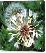 Blown Wishes 2 Acrylic Print
