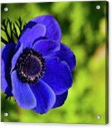 Blue Bonnet Acrylic Print