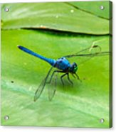 Blue Dragonfly On Lily Pad Acrylic Print