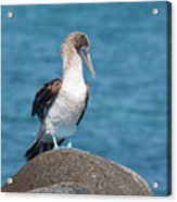 Blue-footed Booby On Rock Acrylic Print