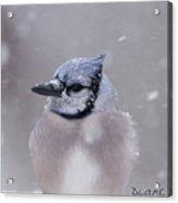 Blue Jay In A Blizzard Acrylic Print