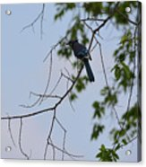 Blue Jay In Tree Acrylic Print