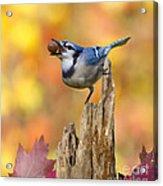 Blue Jay With Acorn Acrylic Print