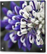 Blue Lupine Acrylic Print