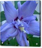 Blue Rose Of Sharon Acrylic Print