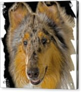 Blue Sable Standard Collie Acrylic Print by Larry Linton