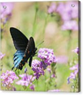 Blue Swallowtail Butterfly  Acrylic Print