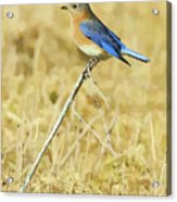 Bluebird In February Acrylic Print